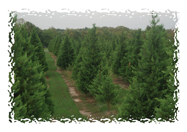 Christmas Tree Farm Near Me.Home
